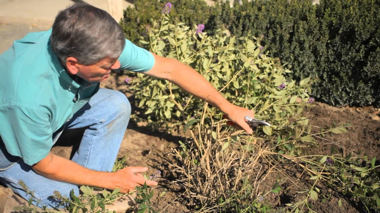 How To Prune Overgrown Ornamental Shrubs Care For