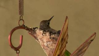 Hummingbird Nest in a Wind Chime - Final Episode