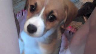 Cutest Puppy Ever!!!! Beagle Corgi Mix