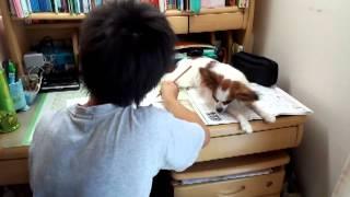 パピヨン さらちゃん 1才10か月 お兄ちゃんが夏休みの宿題をしていると...