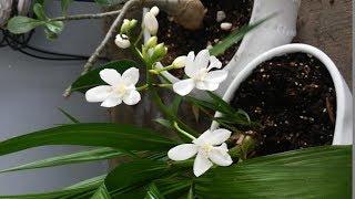 Mis Orquideas Terrestres Spattoglottis Plicata En Floración Seguimiento Update