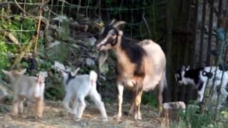 Chèvres miniatures des Tourelles - Jeux d'extérieur pour nos 3 paires de jumeaux âgés de 10 jours