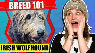 BREED 101 IRISH WOLFHOUND! Everything You Need To Know About The IRISH WOLFHOUND