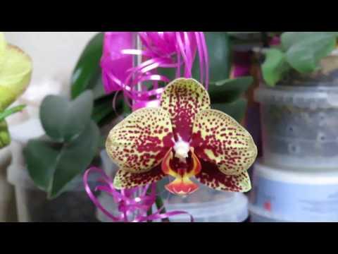 Срочная новость для могилевчан!Дешевые орхидеи в отличном качестве!!!!!!