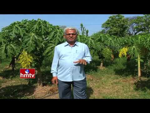Karimnagar Farmers Earns High Profits From Papaya Crop Culti