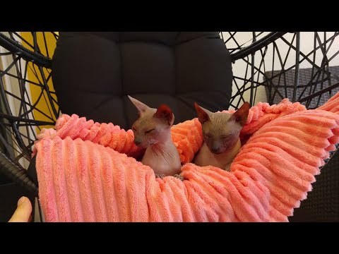 Sphynx cats relaxing in swing chair / DonSphynx