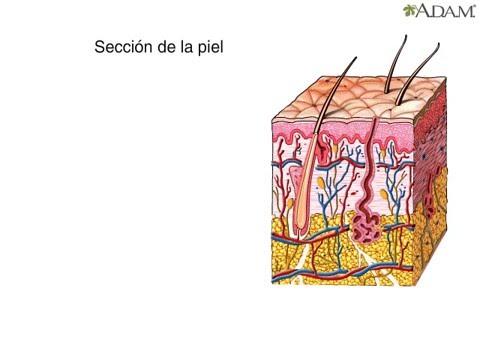 Componentes de la piel - Medicina y Cirugia - YouTube