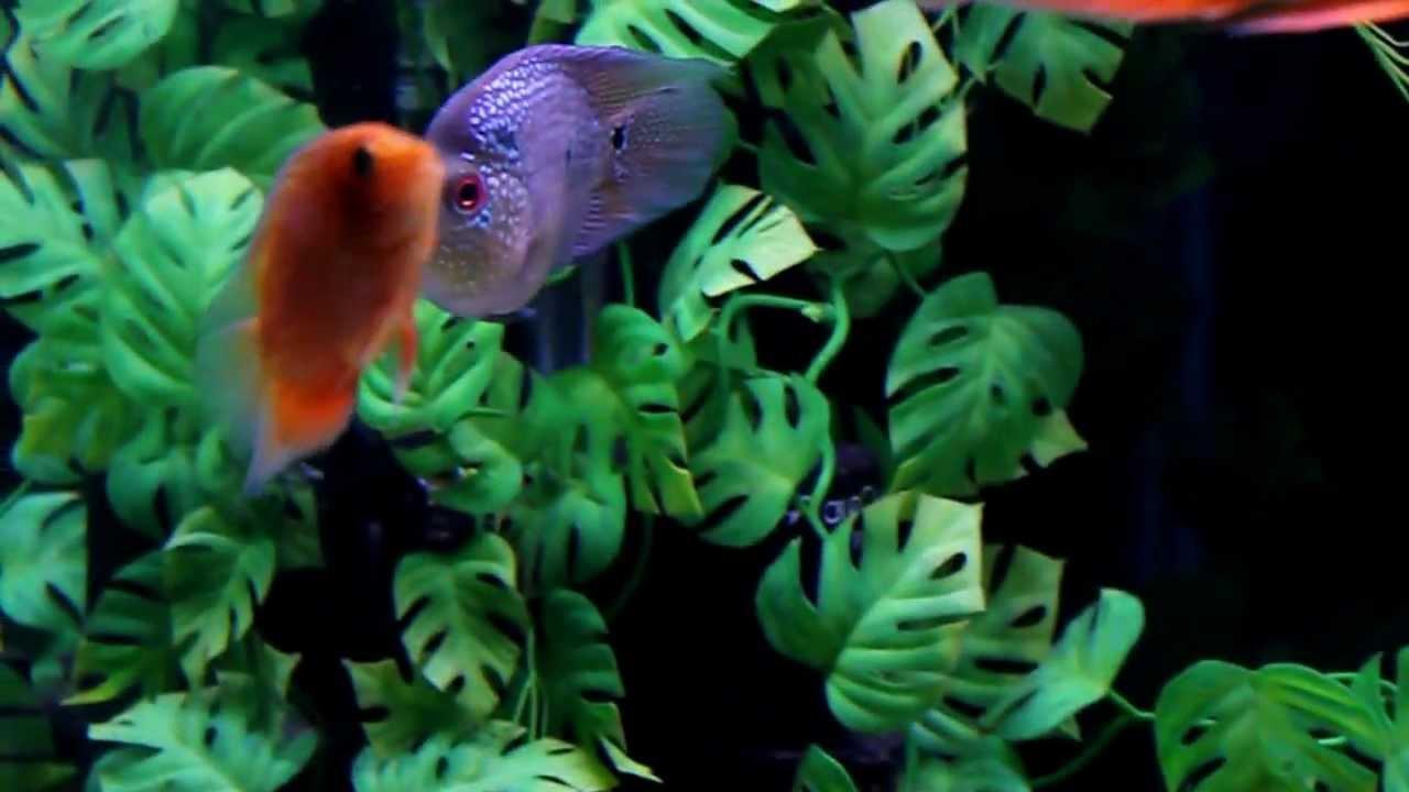 Fish aquarium red spots - Red Mammon Red Spot Severum Indo Tiger American Tiger Bonsai Flowerhorn Youtube