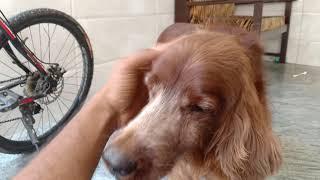 Soft and Cute Irish Setter Dog