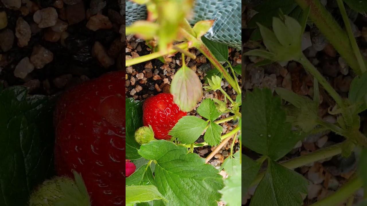 내딸기에게 벌어진일..언제 온전한 딸기를 먹을수 있을지. 남편은 포기하라 하네요ㅜ