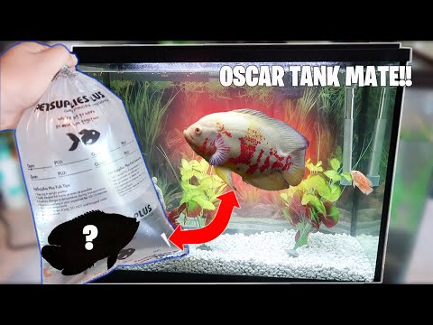BUYING My Lonely Oscar Fish A TANK MATE! (Did It Help?)