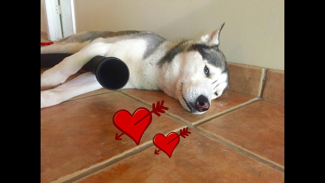 Husky LOVES Vacuum!