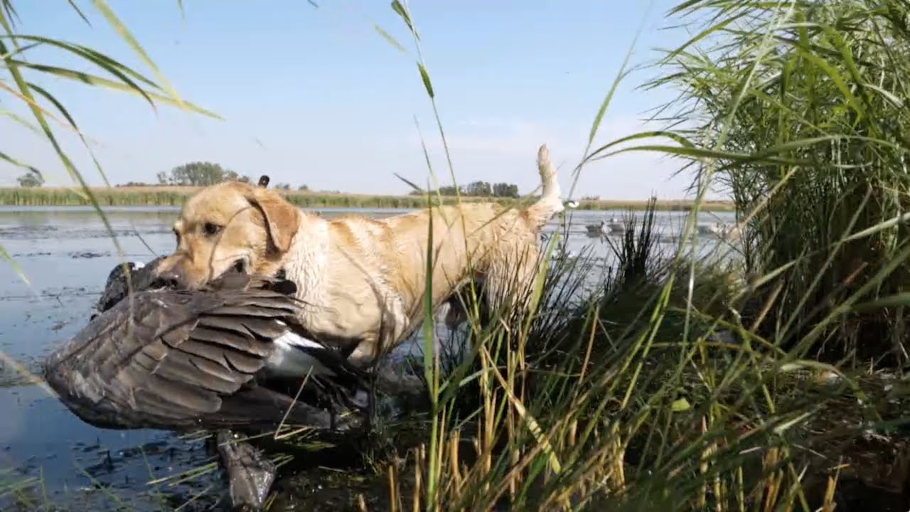 Hired to Hunt Season 4 #1:  Put Me in Coach - Duck and Goose Hunting.  Limit Hunts in Alberta