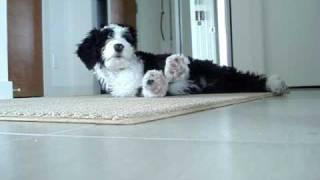 Cute Portuguese Water Dog Puppy Waking Up