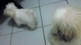 Shih-tzu Vs Maltese Puppy