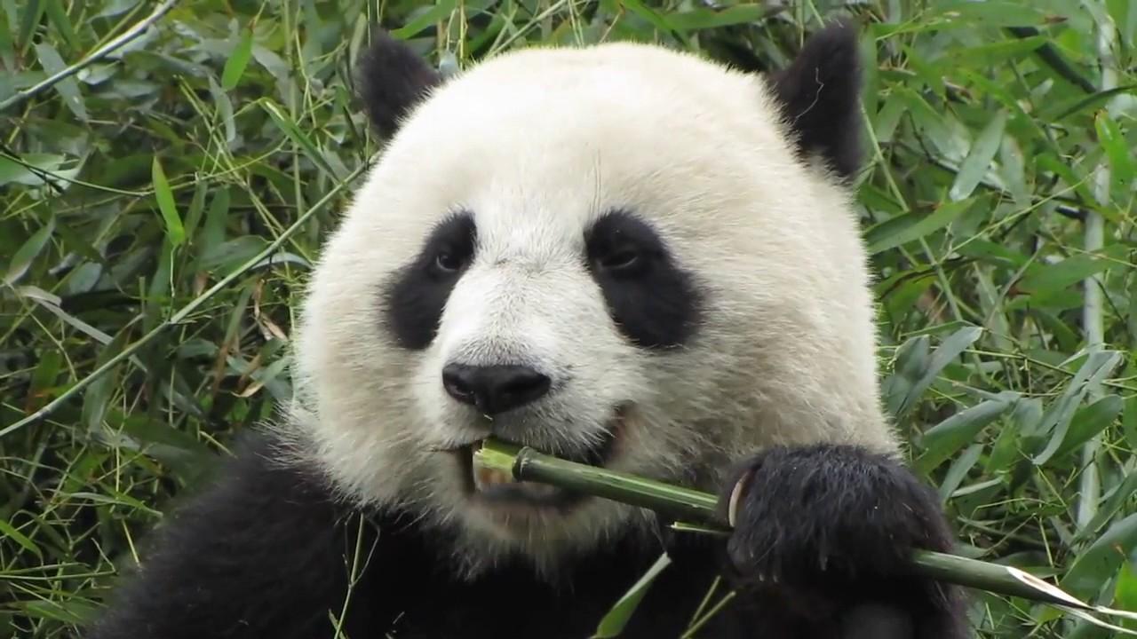 ari animal rap giant panda youtube