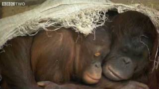 Emotional Expressions of an Orangutan - The Story Of Science - Episode 6 Preview - BBC Two