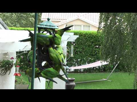 Wild Parrots Agoura Hills CA close-up HD