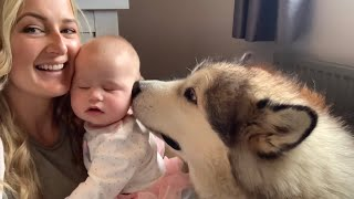 Giant Dogs Wake Happiest Baby Up Malamute Alarm Clock (Cutest Video Ever!!)