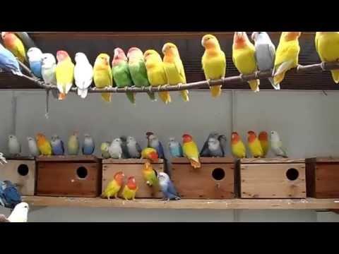 My love birds farm opaline / Agapornis Růžohrdlý