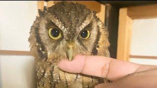 くすぐるフクロウ Tickling owl
