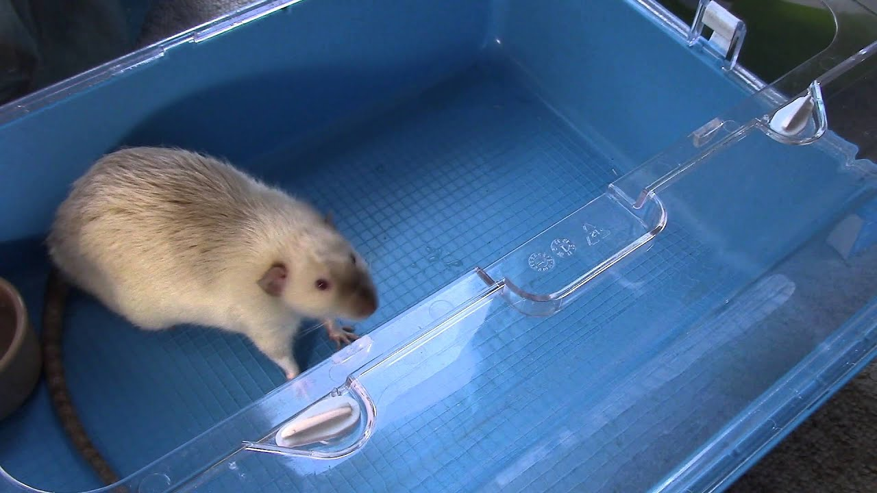 Collecting a Urine Sample From a Rat. - YouTube