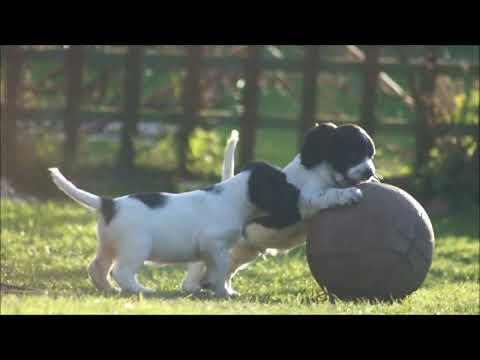 Sprocker Spaniel Puppies - English Springer X Cocker