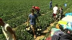 Surproduction de melons en Poitou-Charentes et prix en baisse