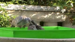 mamma tortora da il pranzo alle tortorelle