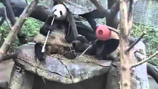 2014-01-21 Xiao Liwu REALLY wanted that Bamboo