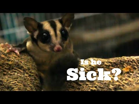 My Sugar Glider SICK? My daily pet care | Wildly Indian