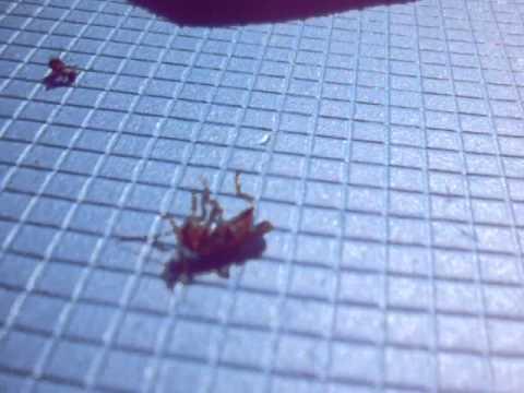 Жук пожарник Vs 2 муравья