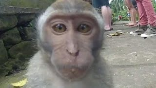 Смешные обезьяны. Подборка видео 2015(Смешные обезьяны | Смешные обезьянки | Обезьяны | Обезьянки | Забавные обезьяны | Обезьяны и собака | Обезьяна..., 2015-07-22T09:51:18.000Z)