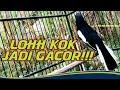 Kacer Malas Bunyi Jadi Gacor Kacer Gacor Kacer Gacor Full Isian  Mp3 - Mp4 Download