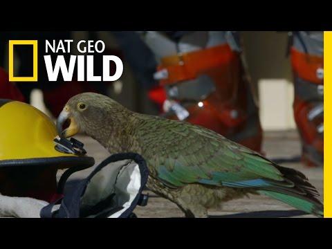 A Very Curious Parrot   Wild New Zealand