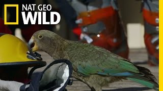 A Very Curious Parrot | Wild New Zealand