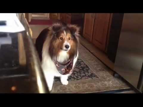 Winston the Sheltie asks for dinner
