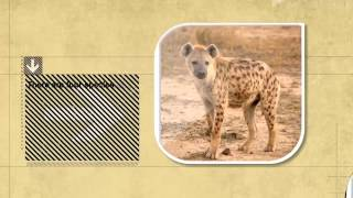 Dog Facts: Hyenas Are More Closely Related To Cats, Not Dogs