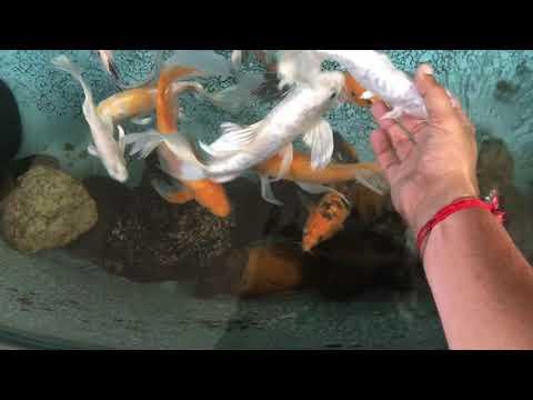 Coolest Koi  Fish Pond Ever | Coimbatore | India