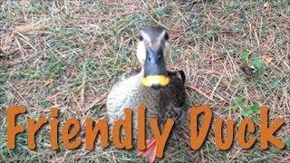 『friendly Duck』人なつこいカモ 鴨 アヒル 動物 かわいい