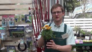 How to Grow and Care for Grow Marigold