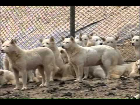 [SBS] Sunday News Plus_Poongsan Dog