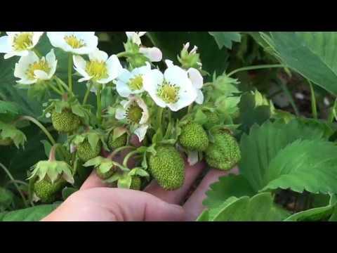 Как ухаживать за клубникой весной чтобы был хороший урожай видео