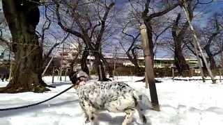 2月9日 東京 大田区 大雪の翌日 洗足池にて イングリッシュセッター リ...