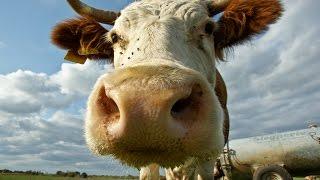 Не много о породах коров. Жизнь в деревне.
