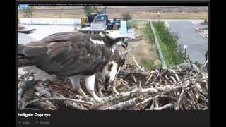 BRING ME THE FISH, STAN! AUG 8, 2015 ~ HELLGATE CANYON OSPREYS