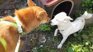 진돗개가 자기보다 약하고 어린 강아지를 대하는 찐 모습