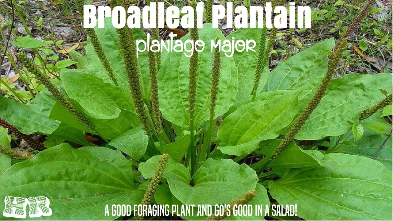broadleaf plantain plantago major another important