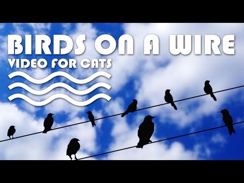 ENTERTAINMENT VIDEO FOR CATS. Cat Game on Screen. Birds on a wire.