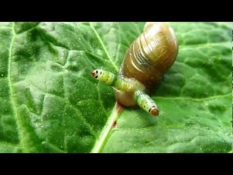Тип Плоские черви. Класс Сосальщики